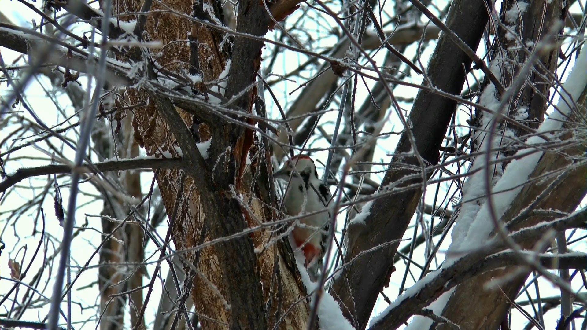 Video Of A Woodpecker