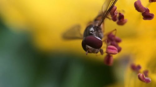 Close Up Video Of Hoverfly