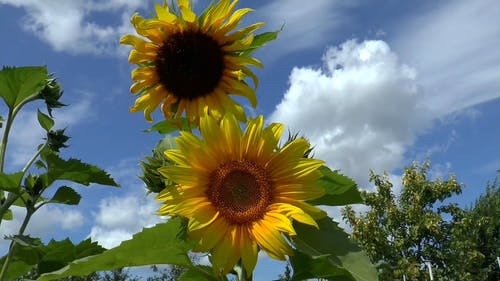Close Up View of Sunflowers