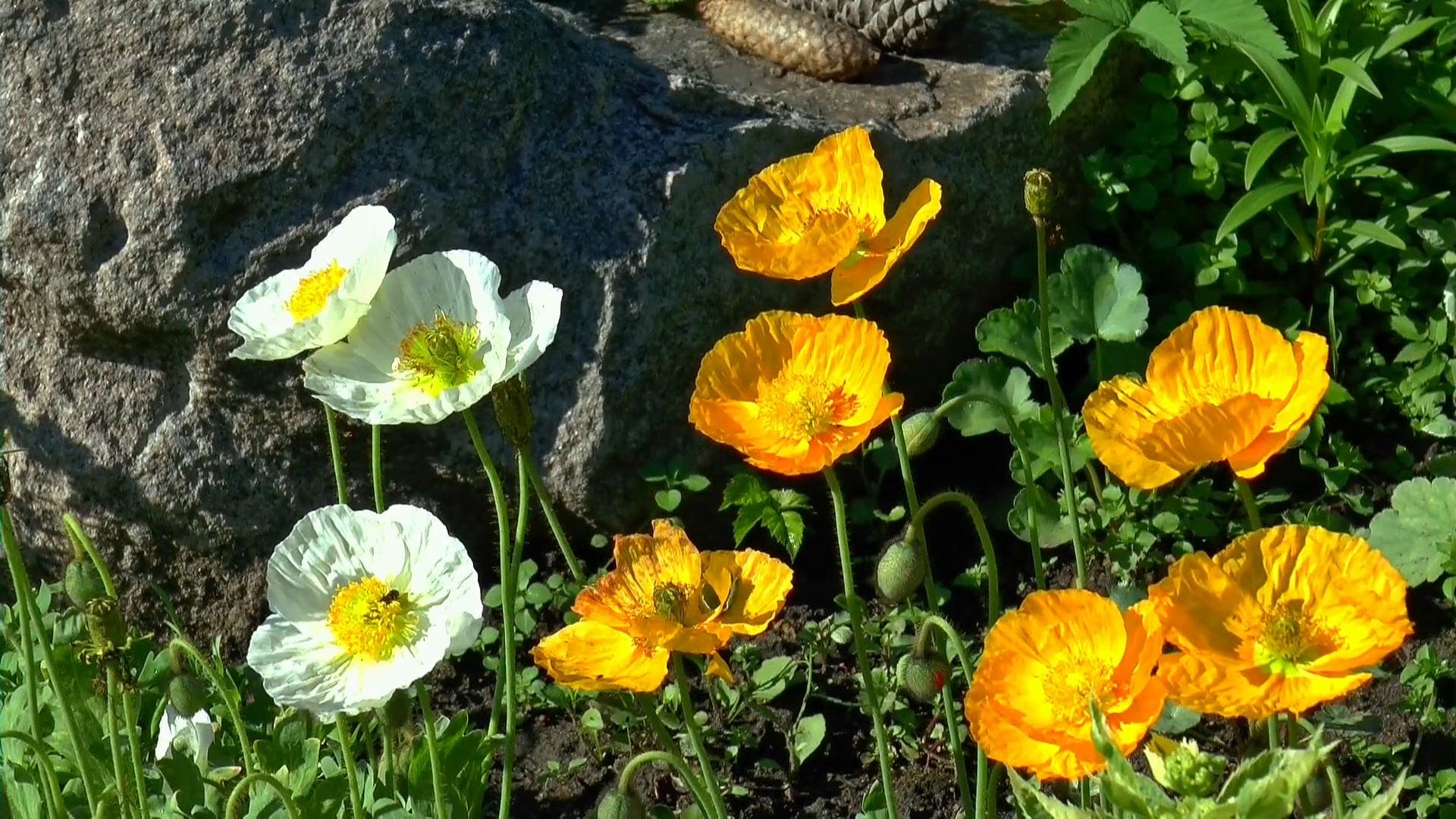 Video Of Poppies