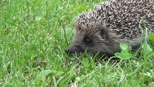 Hedgehog Looking For Food