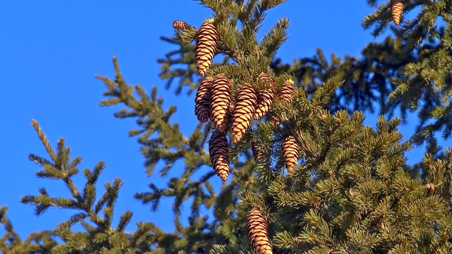 Low Angle Shot Of Spruce Cone