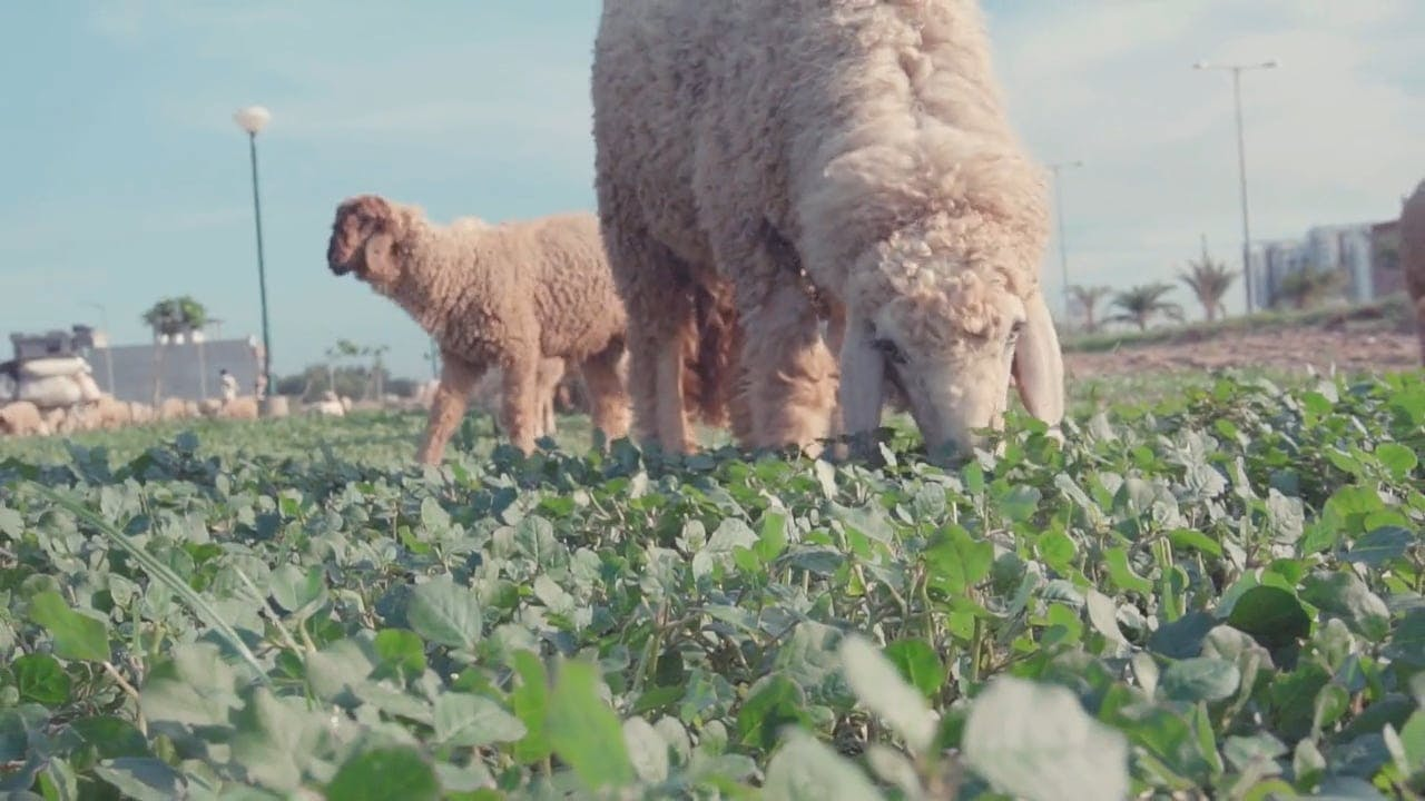 Close Up Video Of Lambs