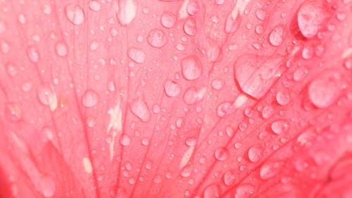 Close-Up Shot Of Water Dripping On A Petal