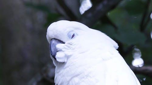 Close-Up Video Of Cockatoo