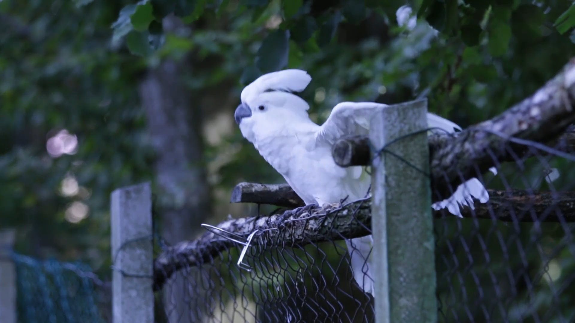 Dancing White Parrot
