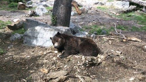 Sleepy Black Bear