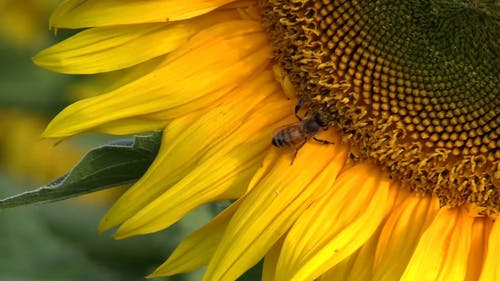 Close Up Video Of A Bee On Yellow Flower