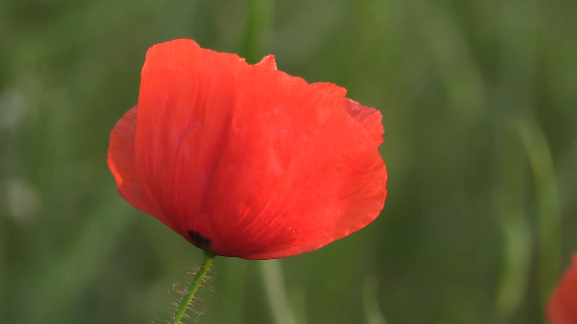 Video Of A Red Flower