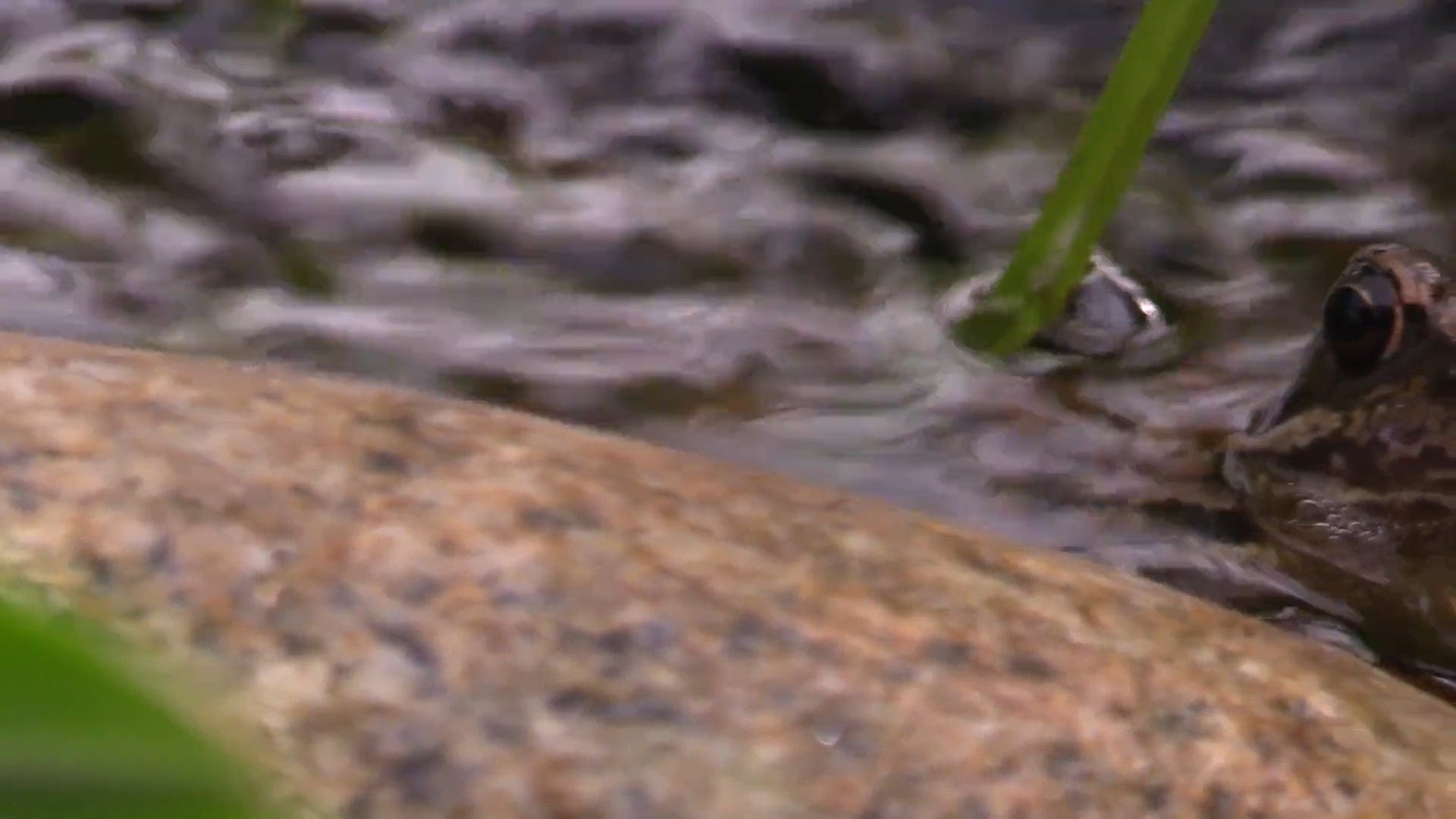 Close-Up Video Of Frog