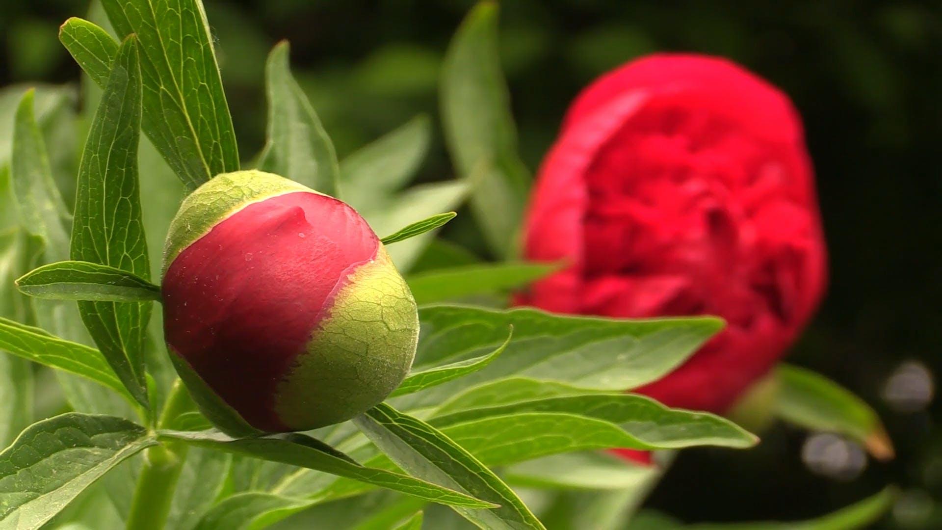 Poppy Flower And Bud Video