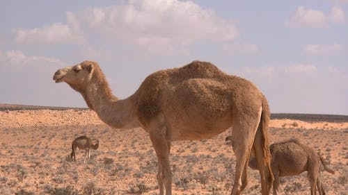 Video Of Camels