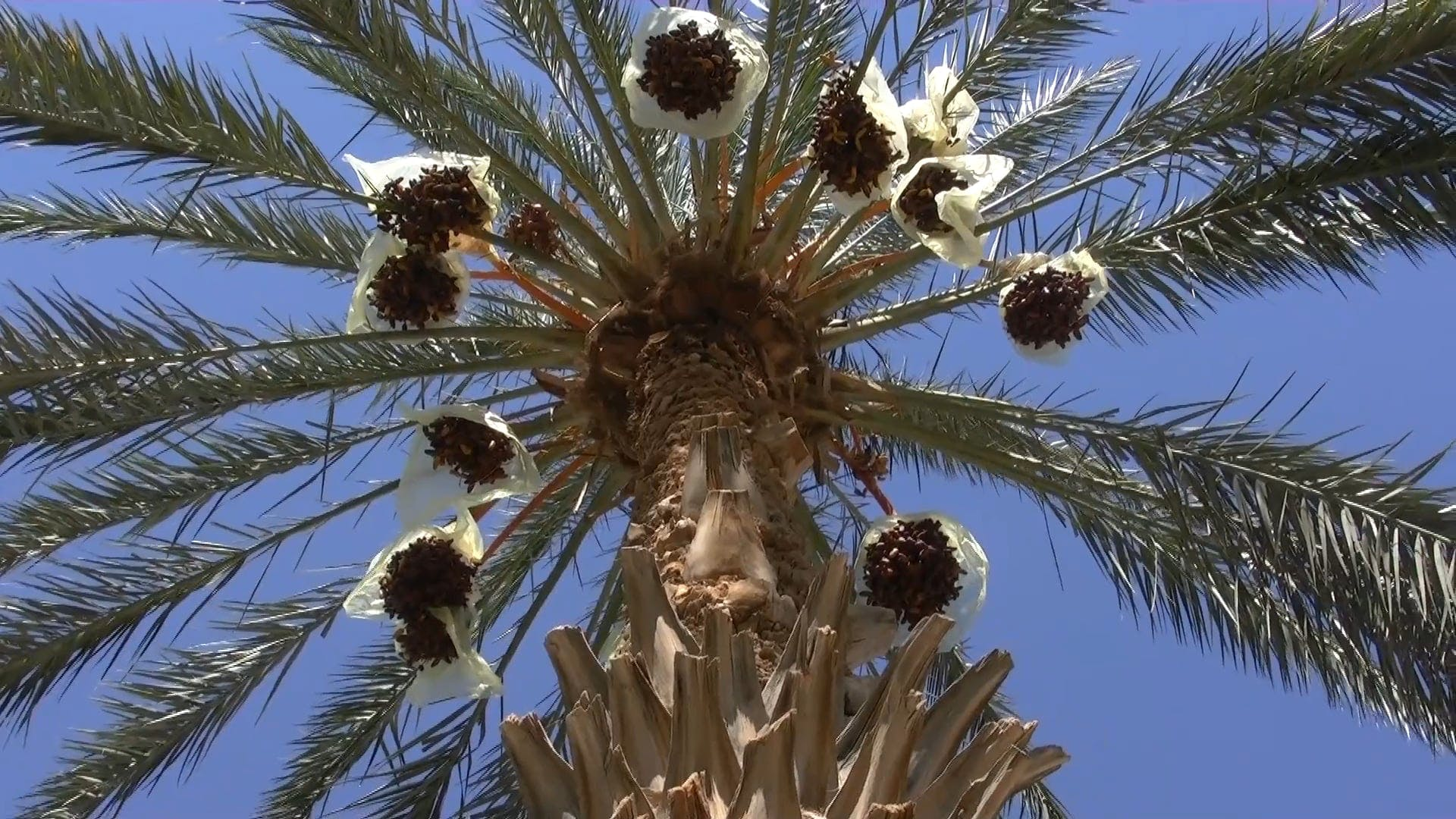 Low Angle Shot Of Date Palm Tree