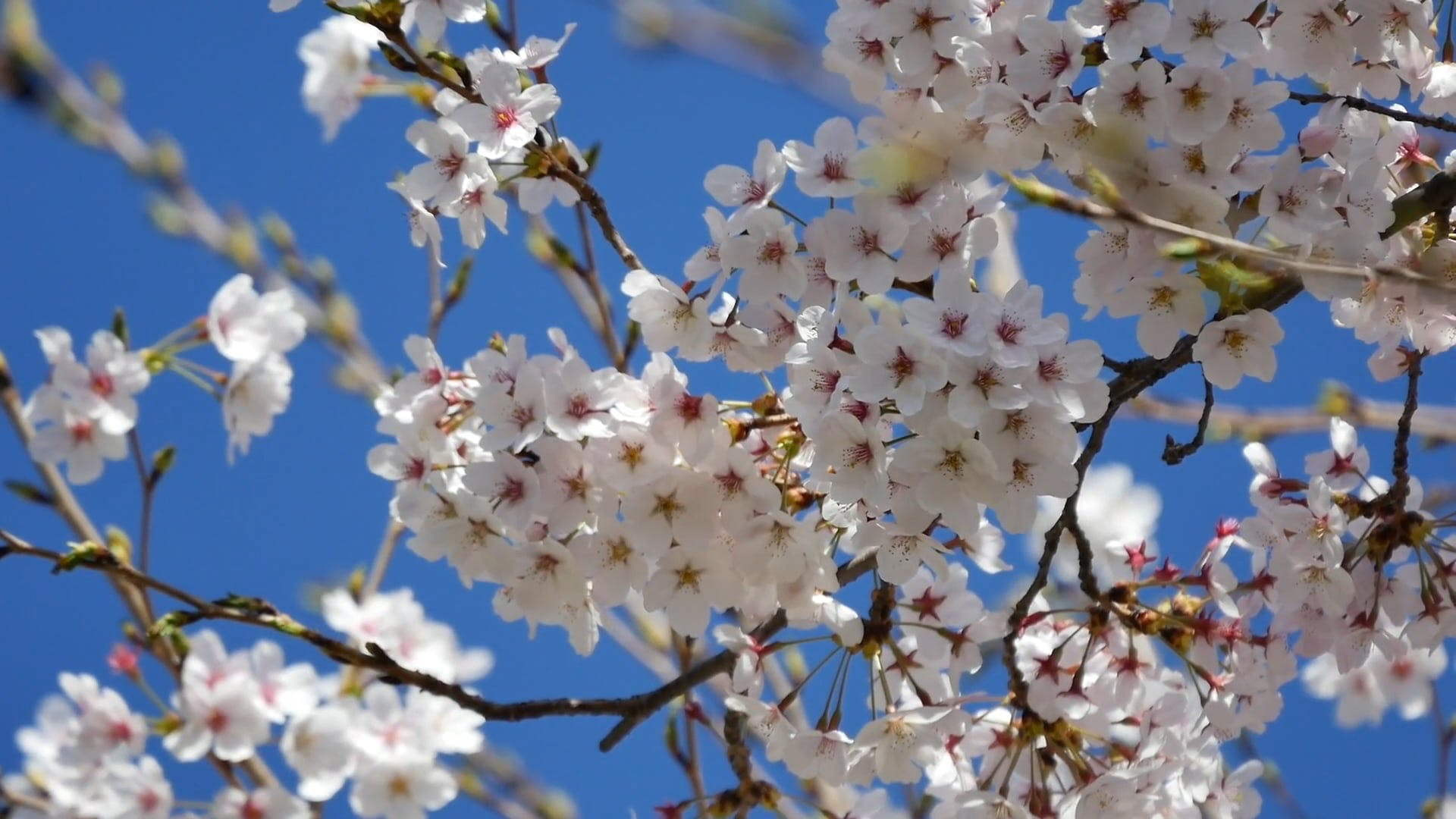 Close Up Video Of Cherry Blossoms