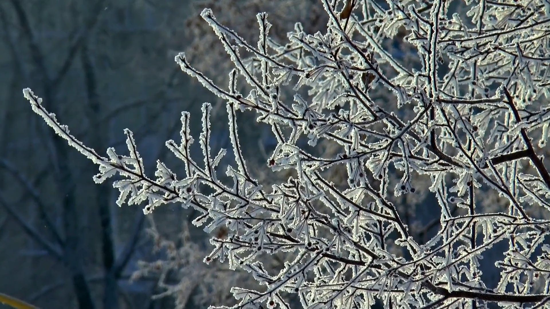 Close-Up Video Of Snowcapped Branches