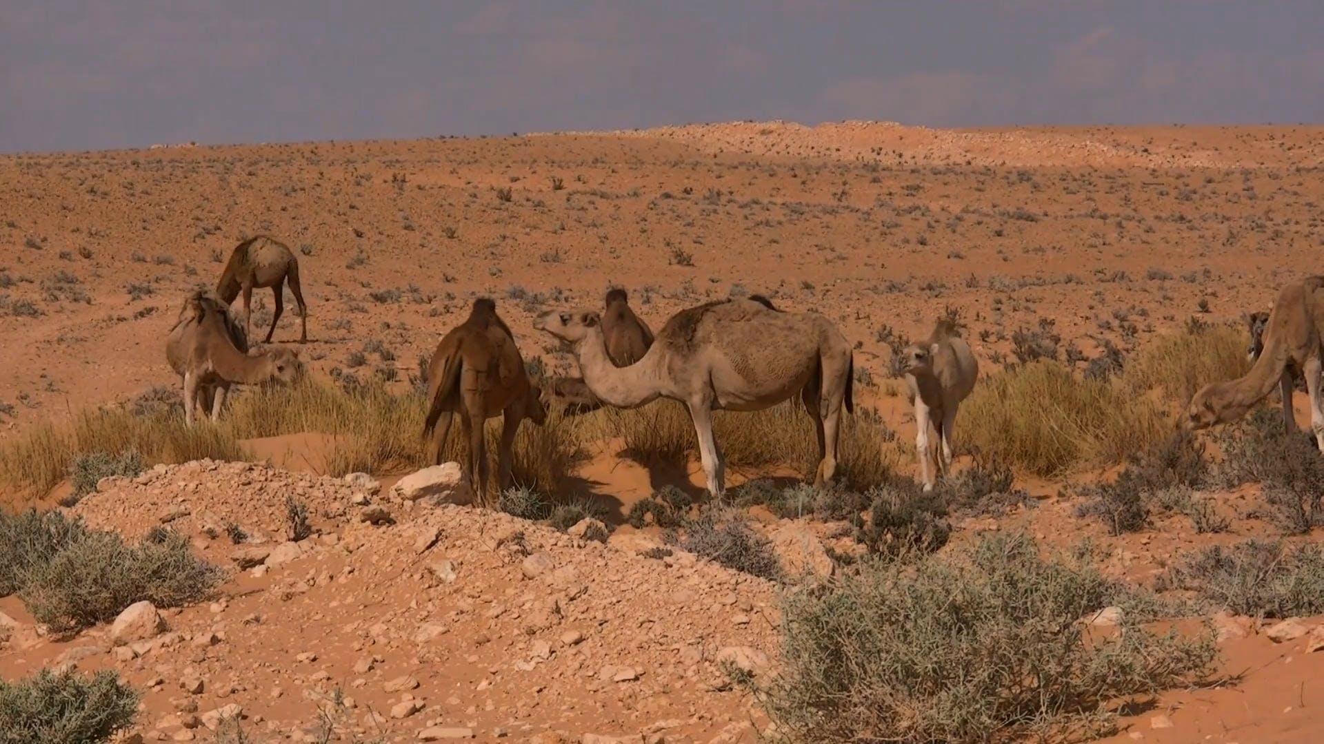 Video Of Dromedary Animals