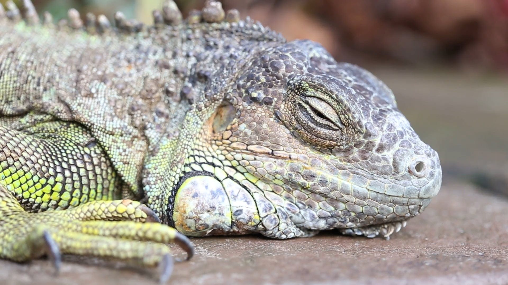 Close Up Video Of A Reptile