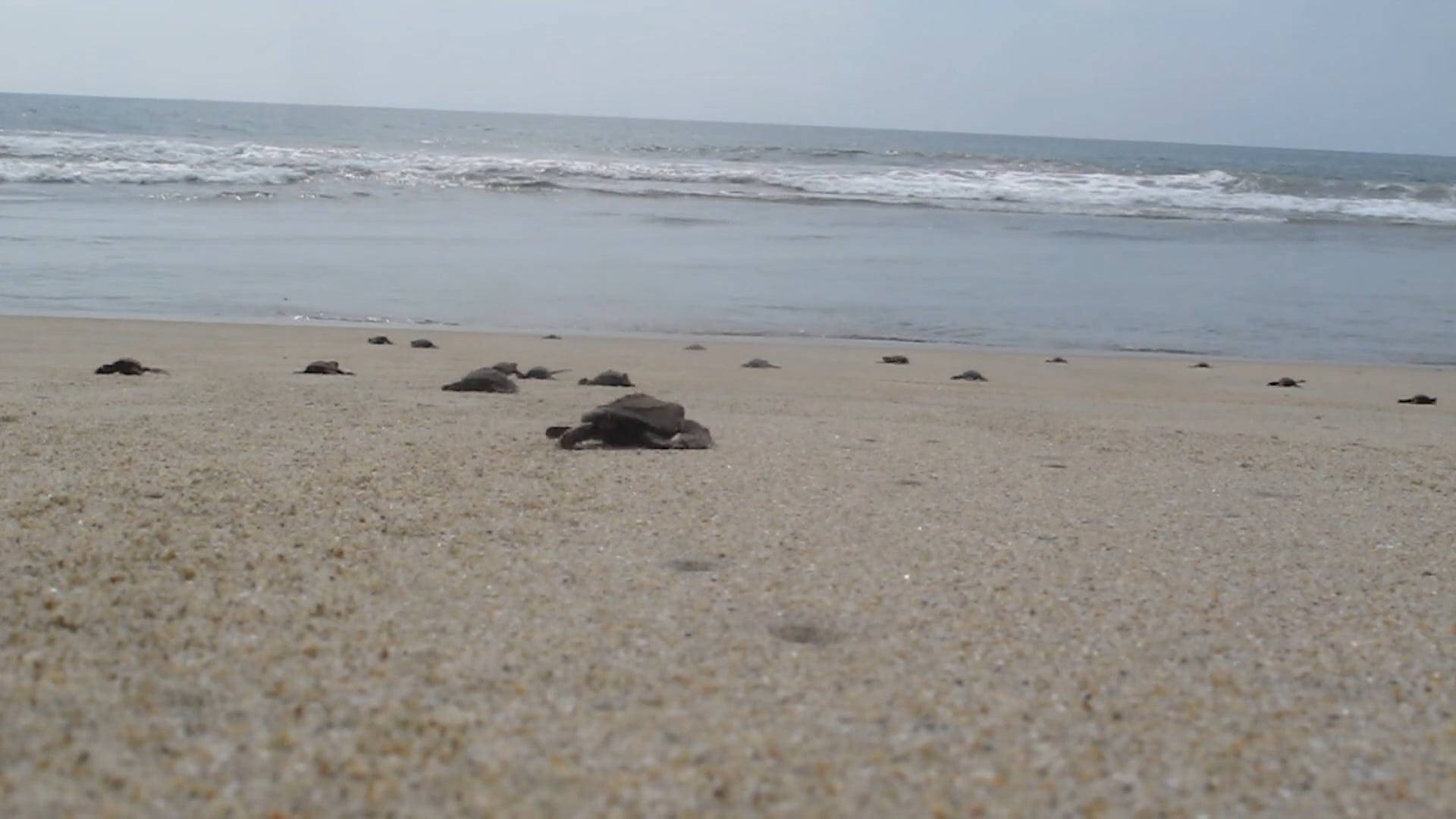 Baby Turtles On Shore