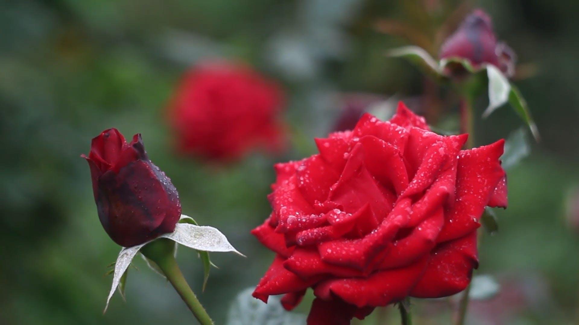 Red Rose In Full Bloom