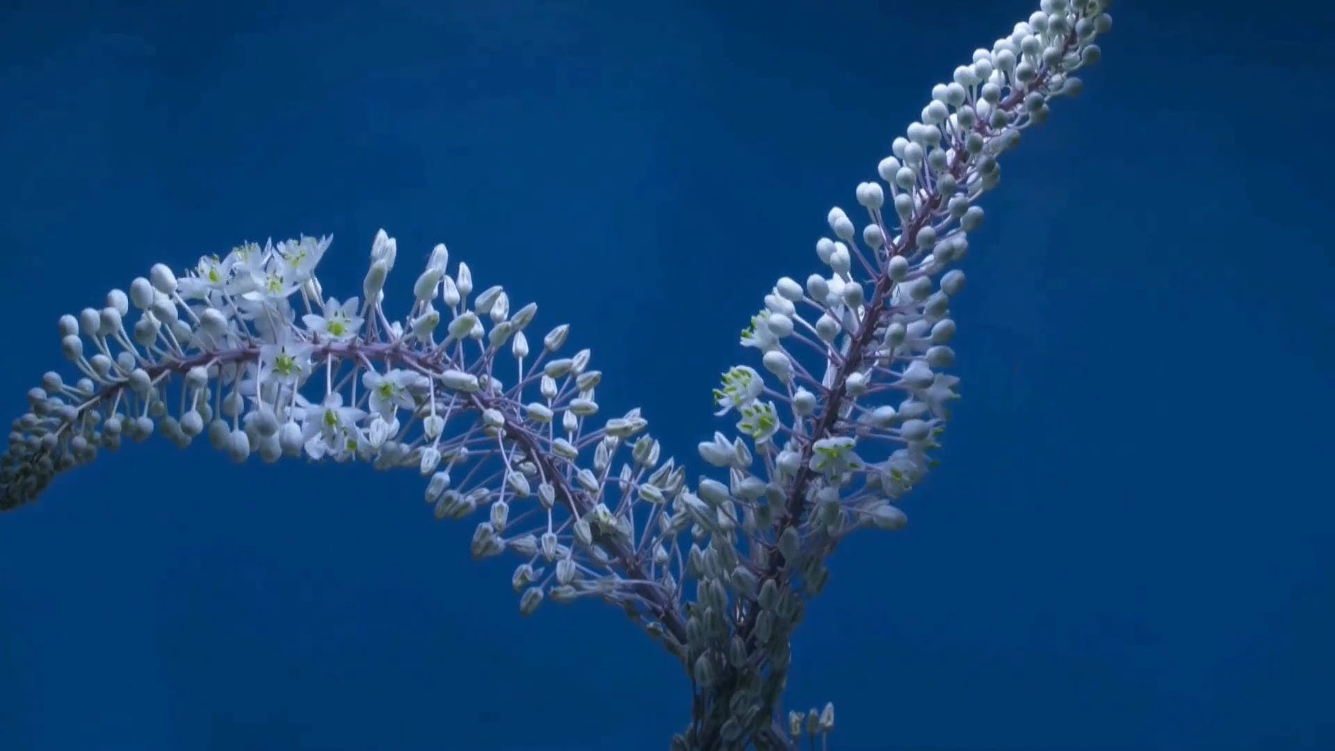 Time Lapse Video Of Flower Blooming