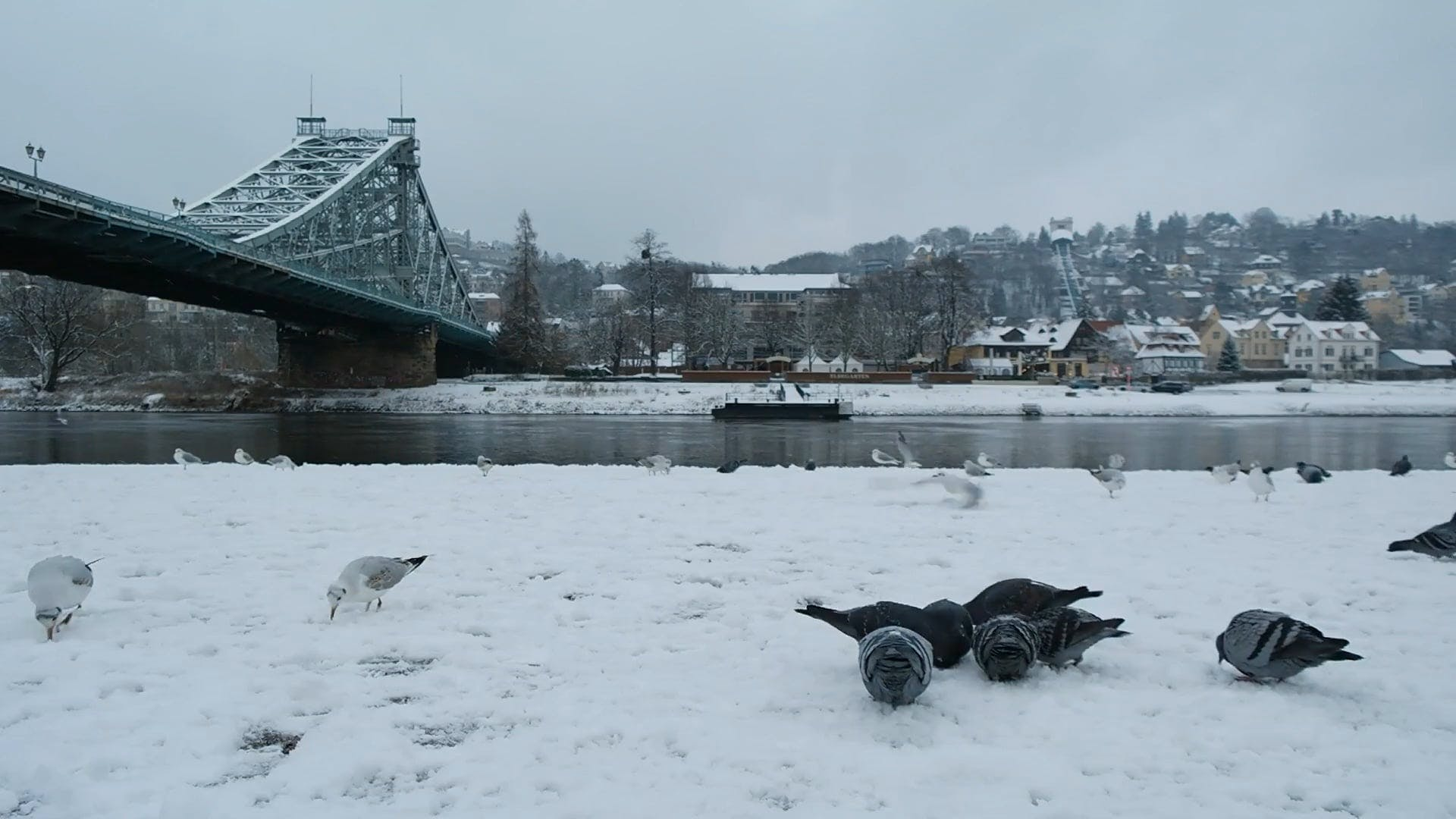 Pigeons On Snow
