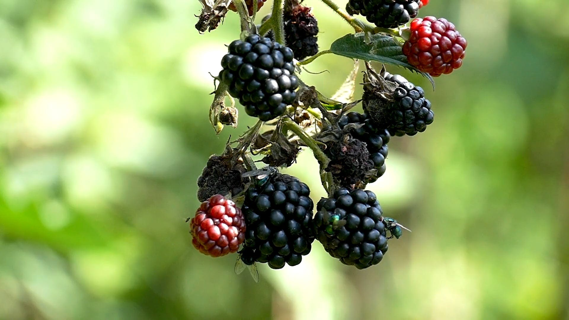 Ripe Blackberries With Flies