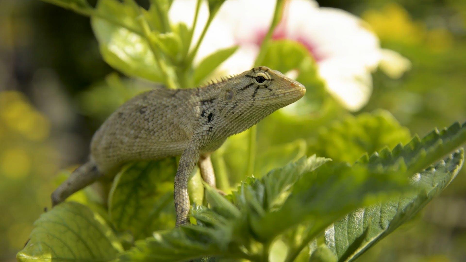 Lizard On Green Leaves