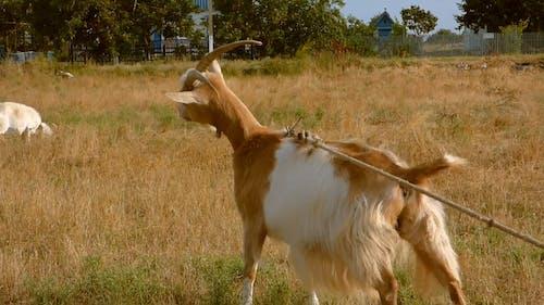 Tethered Goat
