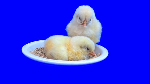 Two Chicks In A Bowl