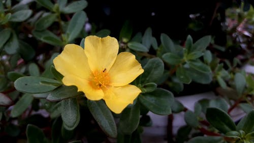 Sarı çiçek Tarayan Böcek