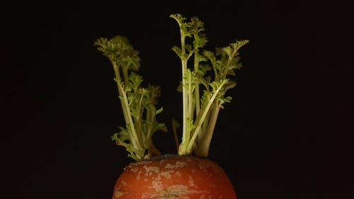 Sprouted Carrot