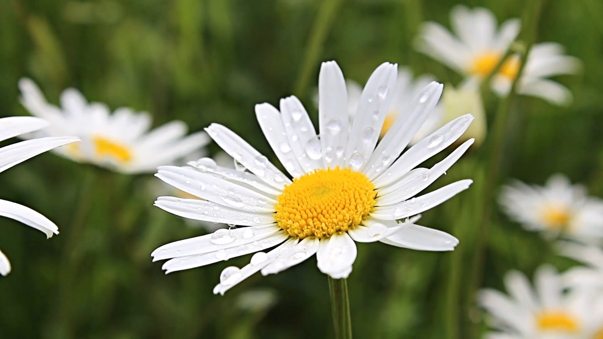 Close Up Video Of Daisy Flower