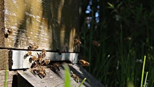 Arı Kovanı Etrafında Uçan Arılar