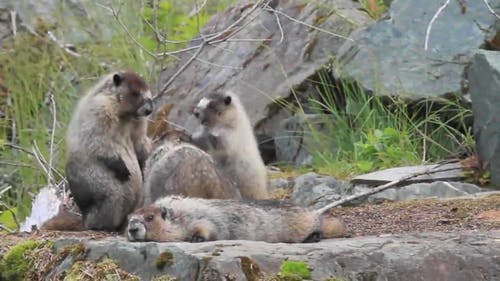Video Of Marmots Fighting And Playing