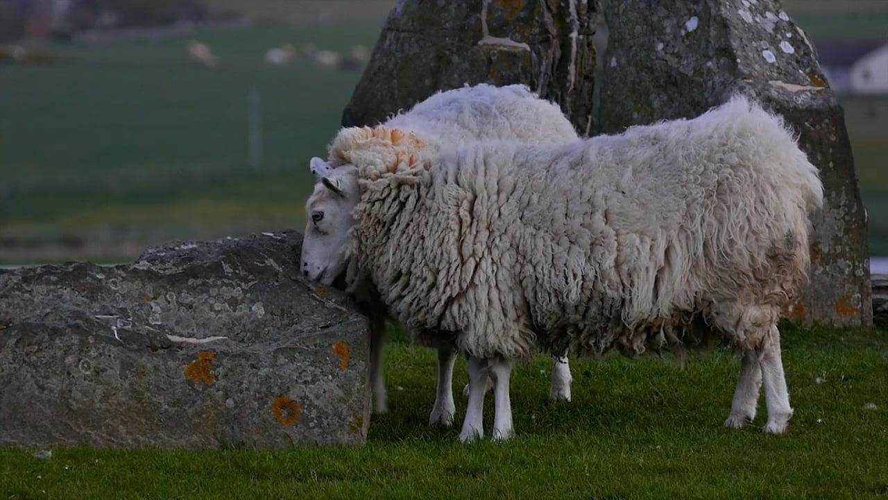 Flock of Sheep Playing and Relaxing
