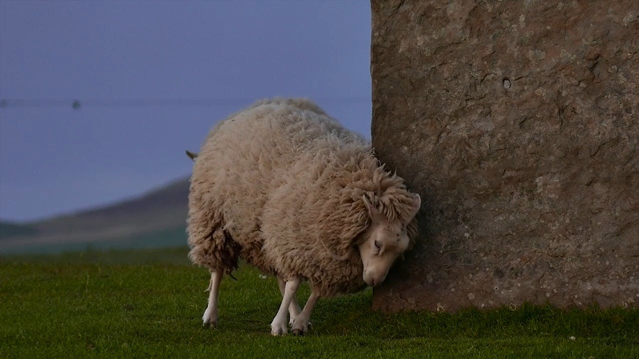 Sheep Scratching On Rocks