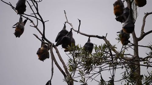 Bats Hanging On Branches