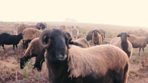 Close Up Video of Sheep