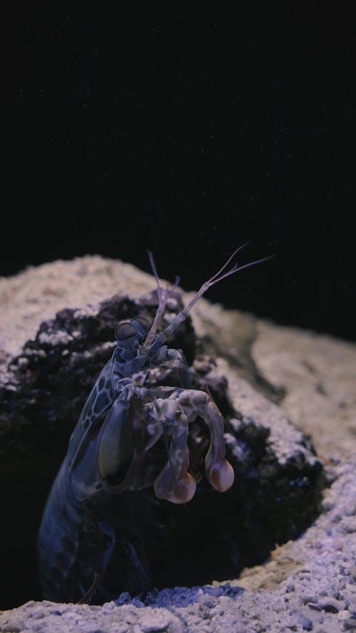 A Mantis Shrimp in an Aquarium