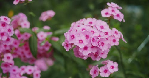 Cluster of Phlox Flowers in the Garden