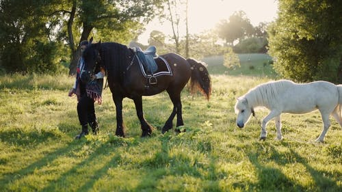 A Woman Walking With the Black Horse and a White Pony