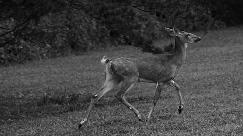 Deer Walking on the Grass