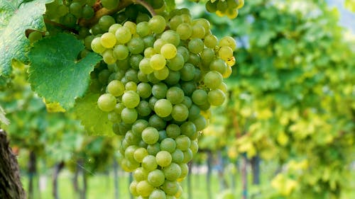 Close-Up Video of Green Grapes