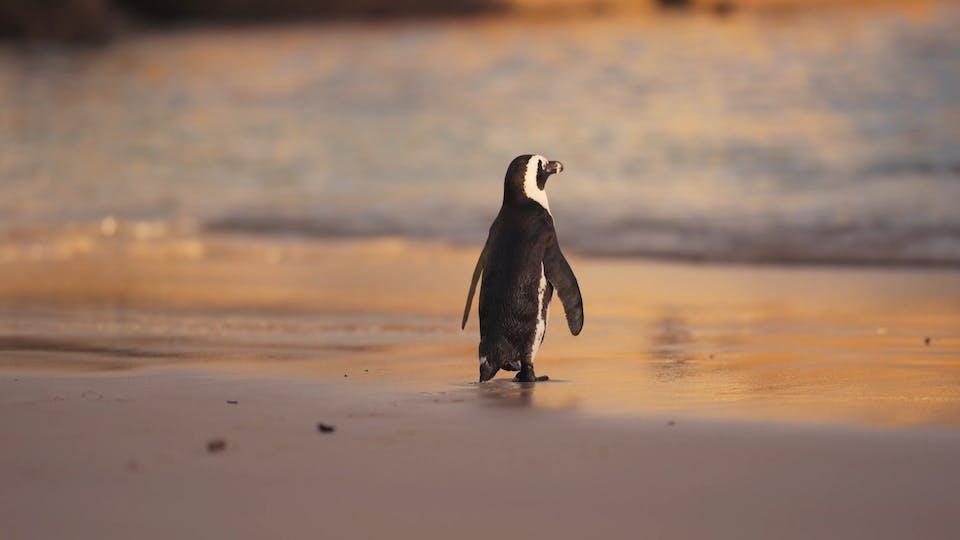 A Cute Penguin Walking On The Beach