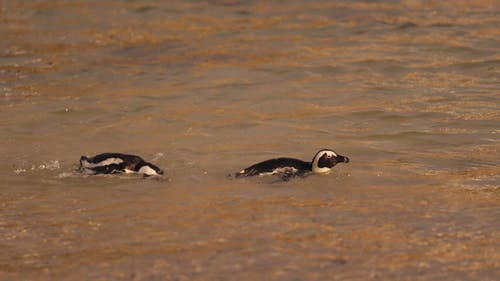 Penguins Swimming on the Sea