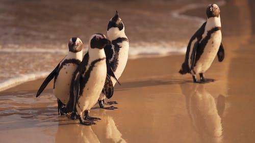 A Cute Penguins Walking on the Beach