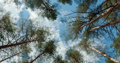 Low Angle Shot of Tall Tree Tops
