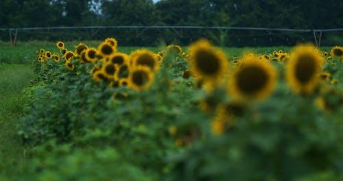A Sunflower Field