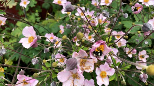 Bees on a Pink Flowers