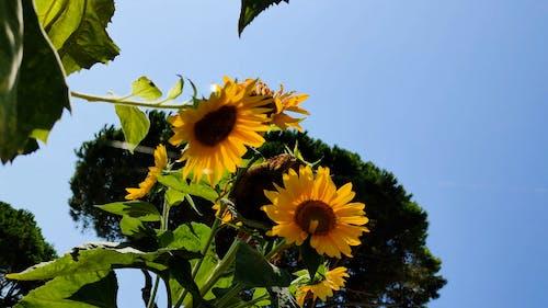 Low-Angle Shot of Sunflowers